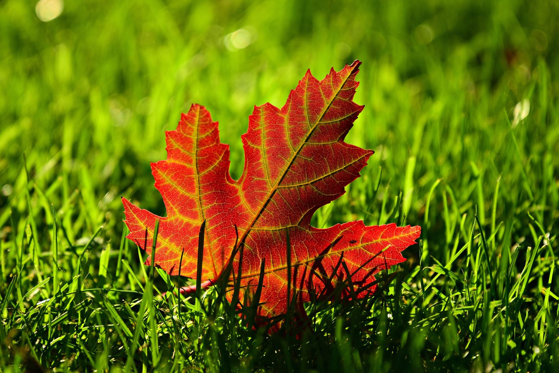 A red, autumn Maple leaf in green grass